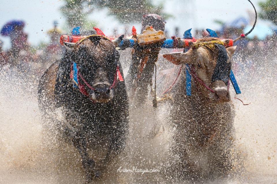 Bull Races in Probolinggo