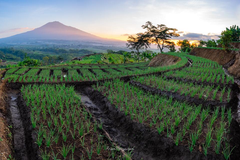 Sawah bawang dan Gunung Arjuno saat Sunrise